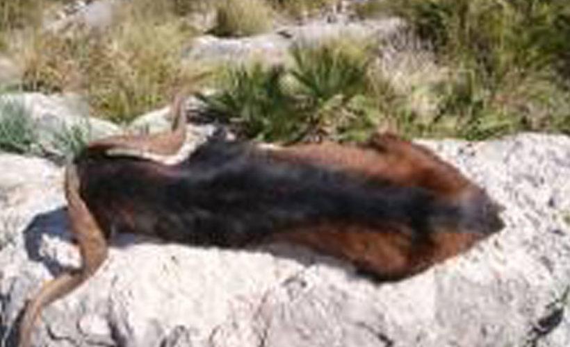 Cazar boc balear